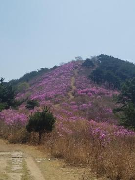 Azalea-covered mountain