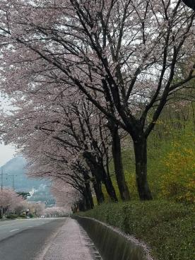 Mature cherry blossom trees line the street