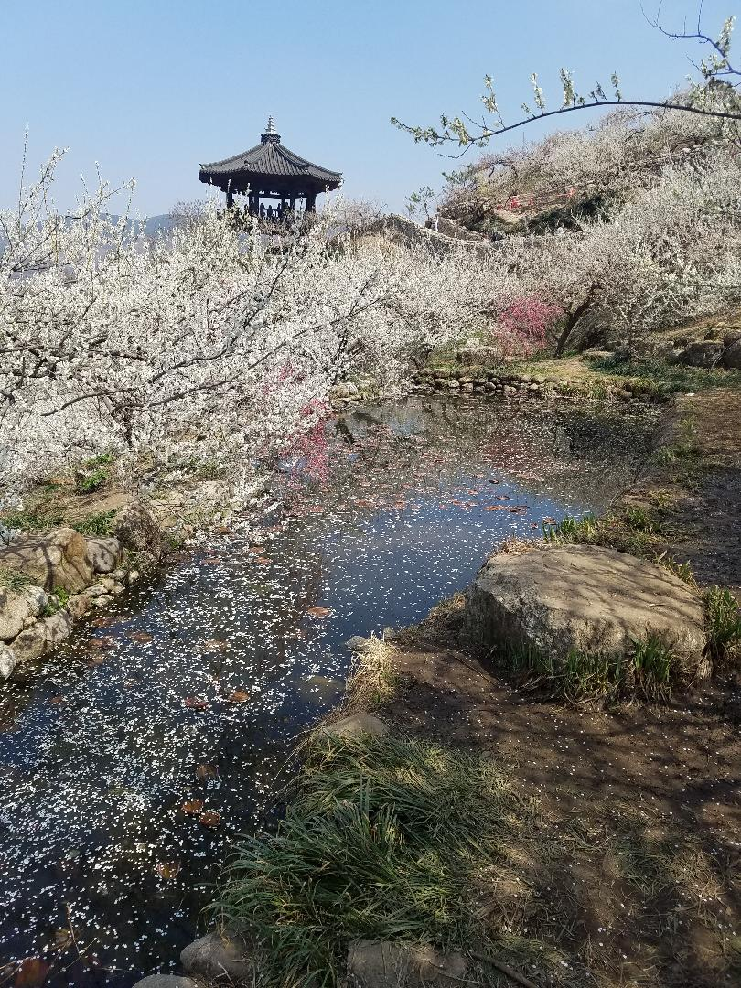 Maehwa Festival - blossoms everywhere